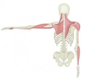 Fascial Arm Line- posterior
